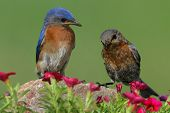 picture of bluebird  - Eastern Bluebirds (Sialia sialis) on a rock with flowers