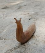 picture of slug  - A pink slug on cement looking at me - JPG