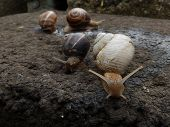 Albino snail and other three snails