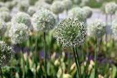 Allium Bulbs Mount Everest