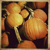 Instagram filtered image of umpkins ready for picking on a farm