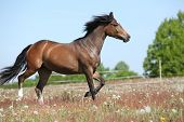 Amazing Brown Sport Pony Running On Pasturage