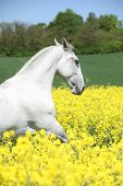 White Lipizzaner In Colza Field