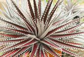 stock photo of spiky plants  - Texture and shape of the desert agave - JPG