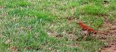 stock photo of brown thrush  - Single brown thrasher on the ground hunting for a worm - JPG
