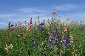 stock photo of clary  - Springtime flowers - JPG