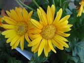 a couple yellow gerbera daisies