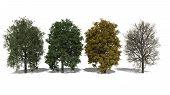 Aesculus X Carnea (four Seasons)