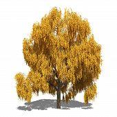 Salix Alba 'tristis' (autumn)