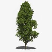 Quercus Robur 'fastigiata' (summer)