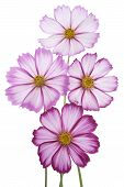 picture of cosmos flowers  - Studio Shot of Fuchsia Colored Cosmos Flowers Isolated on White Background - JPG