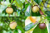 Mangosteen Fruit
