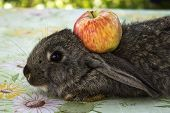 Bunny and apple