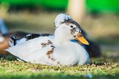 stock photo of crested duck  - Grea white duck in a village street
