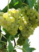 White Grapes In A Vineyard On White Background