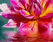 Beautiful flower with reflection on water