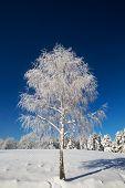 Isolated Birch Tree