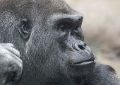pic of face-fungus  - Portrait of a gorilla male - JPG