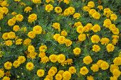 Flower Bed Of Yellow Marigolds