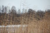 reeds cold winter wind