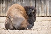 Majestic American Bison (bison Bison)