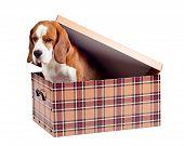 Beagle In Box