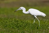 Little Blue Heron eating a bug in a field