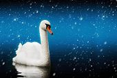 Swan Swimming In A Magic Blizzard. Mystic Night.