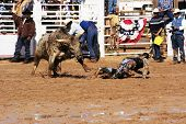 image of brahma-bull  - A cowboy is thrown by a brahma bull in the bull riding competition - JPG