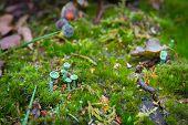 Chlorociboria Aeruginascen Also Known As The Green Elfcup