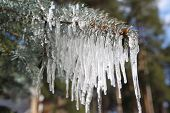 pic of blue spruce  - Branches of blue spruce in icicles from the rain - JPG