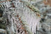 foto of blue spruce  - Branches of blue spruce in icicles from the rain - JPG