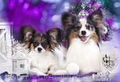 Papillon dog butterfly
