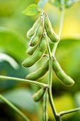 stock photo of soybeans  - Vertical shot of a soybean plant in soybean field - JPG