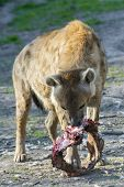 foto of hyenas  - Spotted hyena (Crocuta crocuta) is eating meat