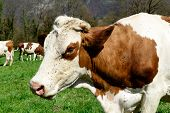 image of cow head  - close up on the head of a cow in a meadow - JPG