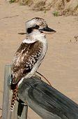 Kookaburra Australian icon bird