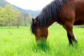 foto of brown horse  - brown horse with a black mane in a meadow - JPG