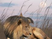 stock photo of tallgrass  - a male lion resting in the tall grass - JPG