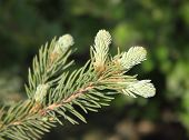 stock photo of fir  - Fir twig with young sprouts against green background