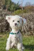 picture of bichon frise dog  - White Bolognese dog is sitting on the lawn outdoors and looking to the camera - JPG