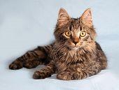 stock photo of blue tabby  - Fluffy tabby Siberian kitten lying on blue background - JPG