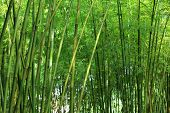 image of bamboo forest  - green bamboo tree growth in the forest - JPG