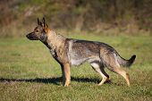 image of shepherds  - German shepherd on the green grass in the park - JPG
