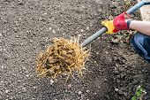 pic of donkey  - Person spreading donkey manure on to an allotment - JPG