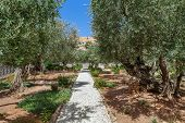 picture of gethsemane  - Olive trees in famous Gardens of Gethsemane in Jerusalem - JPG