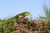 stock photo of lizard skin  - Green striped and spotted a lizard in the grass