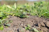 picture of lizard skin  - Green striped and spotted a lizard in the grass