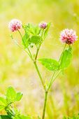 picture of red clover  - Red clover flower on summer green meadow - JPG