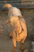 Goat In Afternoon